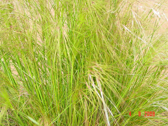 chillean_needle_grass_weed_03.jpg