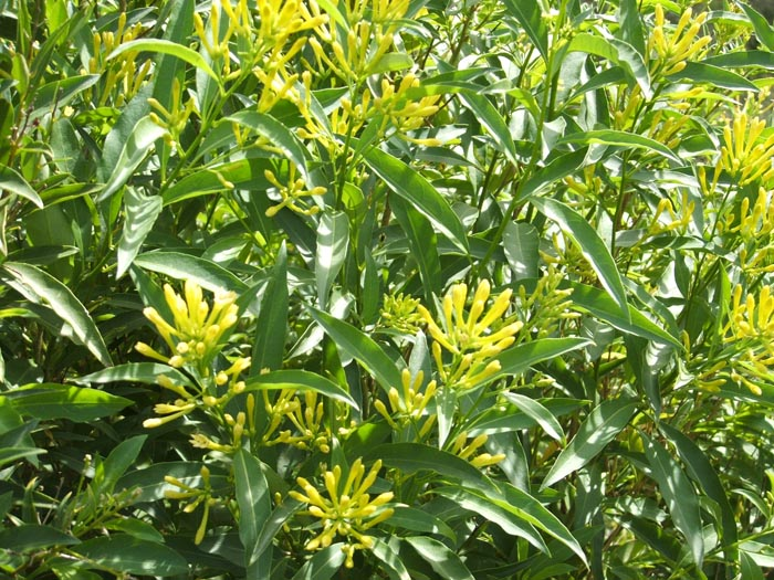 Green Cestrum_weed_4.jpg